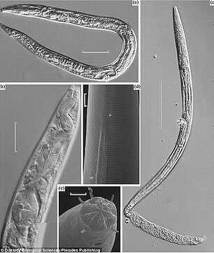 一支微生物研究团队宣称成功复活了远古冰冻线虫,这是最不同寻常的突破性进展,这些线虫在西伯利亚冻土层冰冻了 4.1 万年时间。