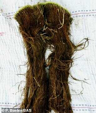 英国南极勘测队科学家也获得了类似的发现,他们从南极收集到 1500 年前的苔藓样本。