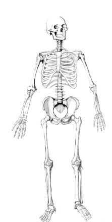 骨骼 .JPG