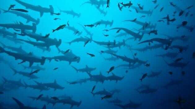 一群双髻鲨(Sphyrna lewini)聚集在加拉帕戈斯群岛附近。在加拉帕戈斯海洋保护区,这些鲨鱼可以组成多达数百只的群体