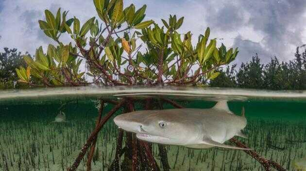 柠檬鲨(学名:Negaprion brevirostris)主要生活在浅海沿岸的栖息地,如红树林、海湾和珊瑚礁