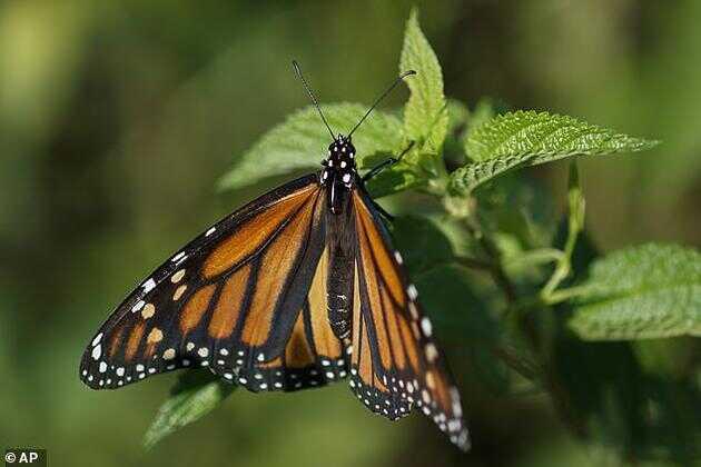 美国加州大学伯克利分校的科学家将果蝇幼蛆赋予黑脉金斑蝶(以马利筋为食的一种蝶类)的特性,他们的努力被认为是人类首次对动物进行基因改良,使其幸存于完全不同的环境,同时食物和掠食者也发生了改变。