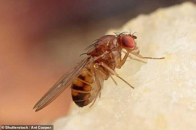 在自然环境中,果蝇如果吃了马利筋(一种黏性充满汁液的植物)就会死亡,之后果蝇的尸体会被饥饿的青蛙和鸟类吞食,现在科学家对果蝇 DNA 进行编辑,使它们能够吃有毒的马利筋而不会死亡,当青蛙和鸟类吞食它们时,会将果蝇呕吐出来。