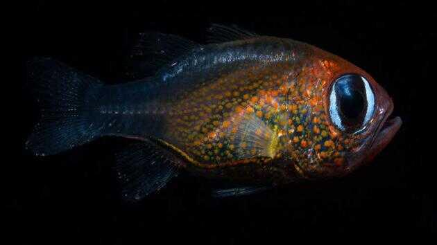 这是猫眼天竺鲷,它的眼睛非常美丽,像猫眼一样。