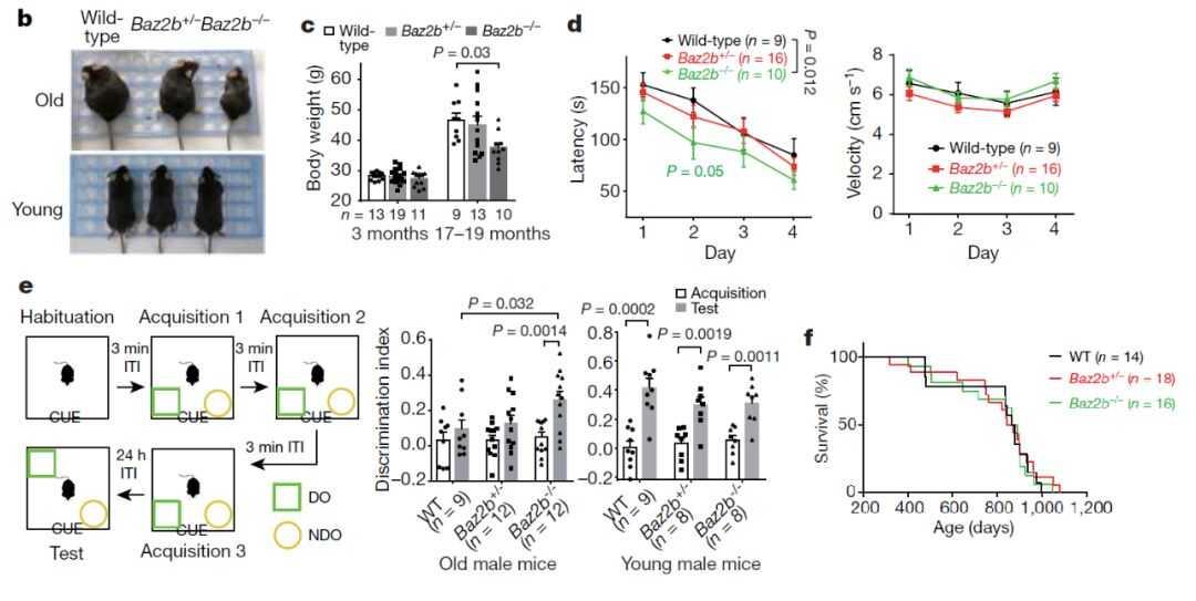 敲除 Baz2b 基因可以提高老龄小鼠的空间学习和记忆能力(来源:Nature)